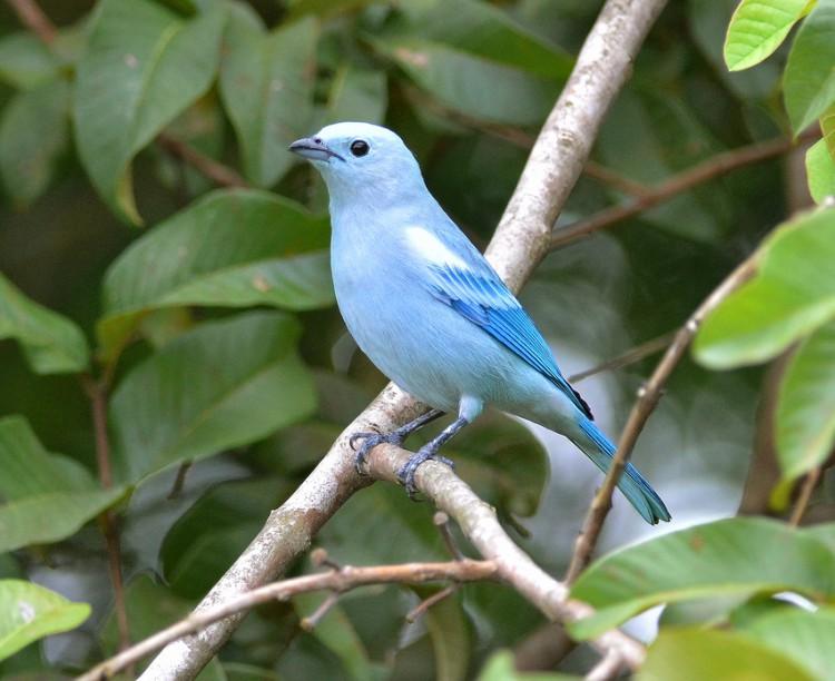 conheça 12 pássaros que vivem na zona urbana de manaus portal amazônia