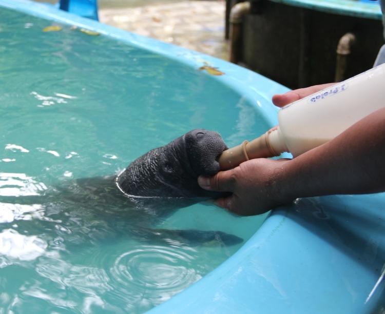 Conheça o peixe-boi-da-Amazônia, o 'cantor' que equilibra o ecossistema da região